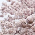 【東京】お花見デートのおすすめスポットと失敗しないポイントとは?